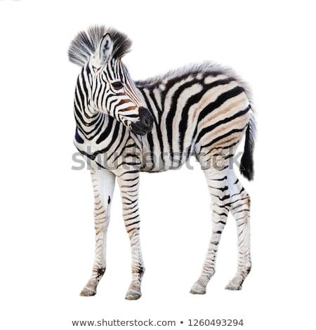 Baba zebra illusztráció erdő naplemente természet Stock fotó © adrenalina