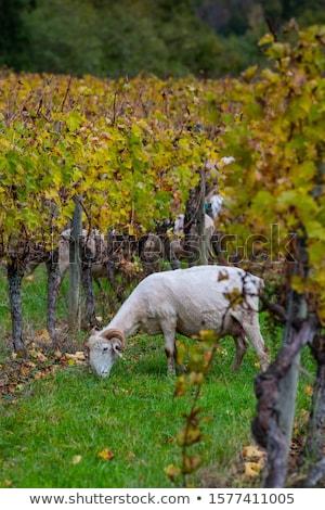 Szőlőskert tájkép Franciaország út égbolt étel Stock fotó © artjazz