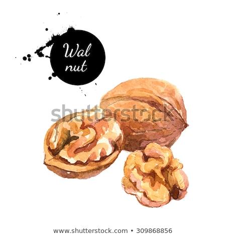 Watercolor illustration of walnut Stock photo © Sonya_illustrations