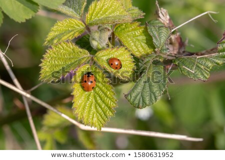 Spot the difference ladybird 2 Stock photo © Olena