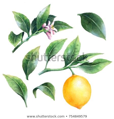 fruto · fatias · laranja · salpico · limão · cair - foto stock © sonya_illustrations