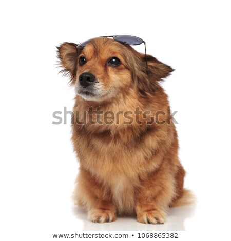 curious dog with sunglasses on forehead looks up to side Stock photo © feedough