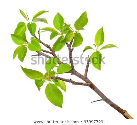 branch apple tree with spring buds isolated on white stock photo © alexan66