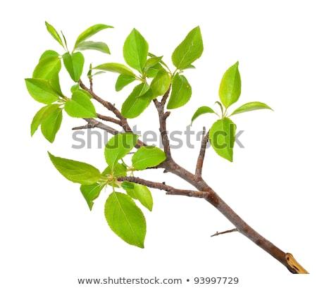 商业照片: 支· 苹果树 · 春天 · 孤立 ·白·树