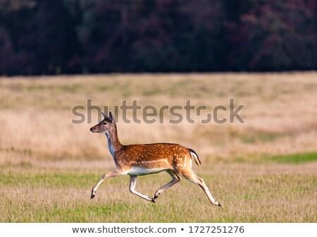Fallow deer in Dyrehaven Stock photo © bdspn