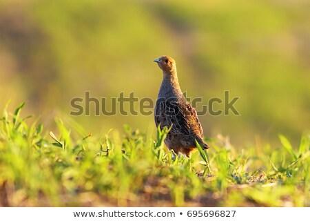 wild grey partridge on meadow Stock photo © taviphoto