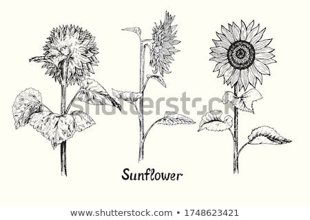 sunflower set front view isolated vector icon stock photo © robuart