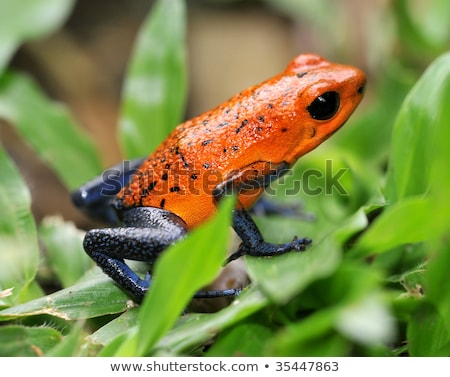 Foto d'archivio: Strawberry Or Blue Jeans Poison Dart Frog In Green Grass