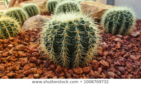 Stock photo: Detail of the Golden barrel cactus