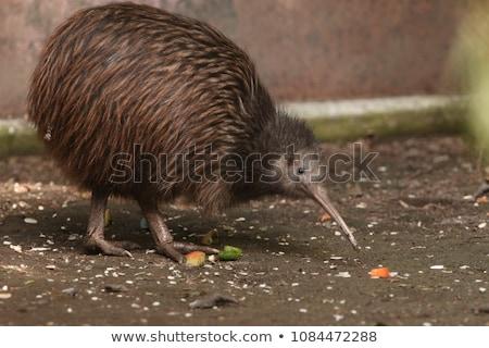 Kiwi aves ilustración naturaleza pluma Foto stock © colematt