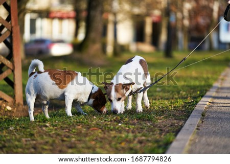 Jack Russel Terrier Stockfoto © eriklam