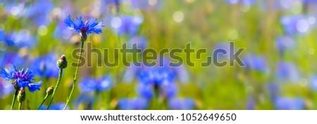 Blooming Cornflower (Centaurea cyanus) Stock photo © haraldmuc