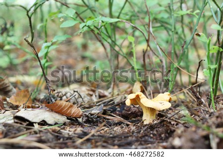 grows lonely chanterelle Stock photo © romvo