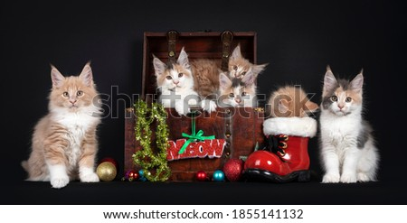 Tortie Maine Coon cat kitten on black Stock photo © CatchyImages