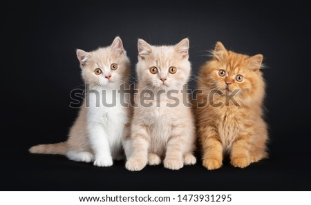 Blanche britannique shorthair chaton noir sweet Photo stock © CatchyImages