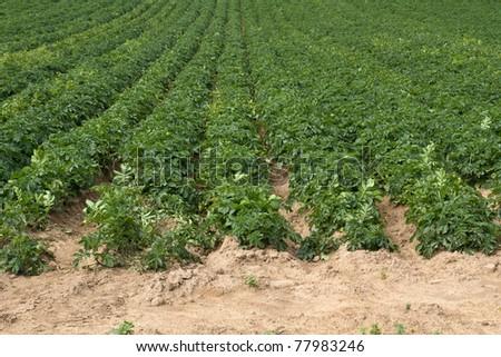 Potatoe Cultivation On The Channel Islands Jersey Uk Stok fotoğraf © haraldmuc