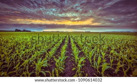 green corn field under blue skies Stock photo © chesterf