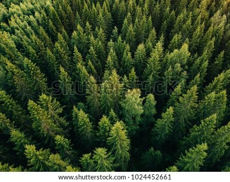 orman · görmek · çam · ağaçlar · kombinasyon - stok fotoğraf © leungchopan
