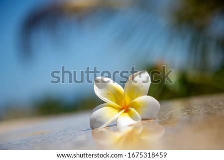Plumeria (frangipani)  Stock photo © jakgree_inkliang