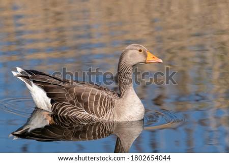 Ganso gansos belo azul lago primavera Foto stock © chris2766