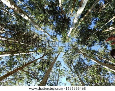 eucalyptus background 01 Stock photo © LianeM