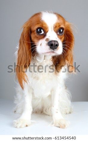 Stock photo: young afraid spaniel in a white photo studio