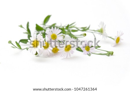 Chamomile Stock photo © derocz