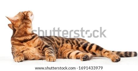 Bengal cat lying on white wooden floor Stock photo © karandaev