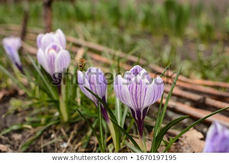 Uçmak mor çiğdem çiçek çiçek makro Stok fotoğraf © manfredxy