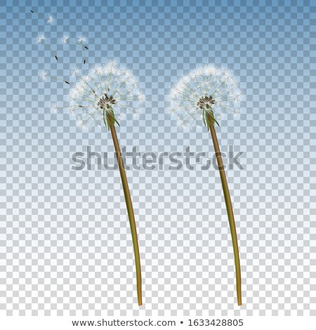 Stock photo: Realistic dandelions