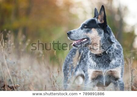Australisch vee hond witte dier vriend Stockfoto © eriklam