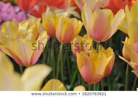 красивой · тюльпаны · изолированный · белый · весны · лет - Сток-фото © dashapetrenko