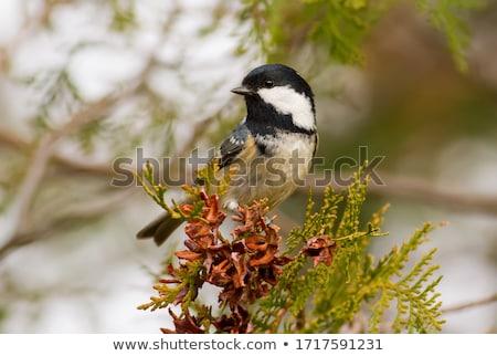 Carbone tit ritratto sfondo nero colore Foto d'archivio © scooperdigital