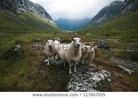 Flock of sheep. Scandinavia, 'Troll's valley' Stock photo © motttive