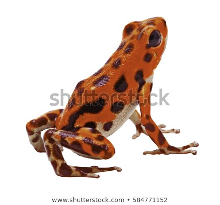 poison arrow frog isolated stock photo © kikkerdirk