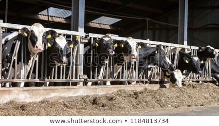 cow inside of a cow barn Stock photo © prill