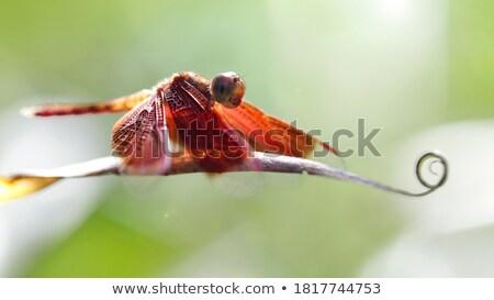 Dragonfly Backlit Stock photo © Donvanstaden