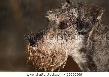 Frio molhado nariz schnauzer ver Foto stock © fantasticrabbit