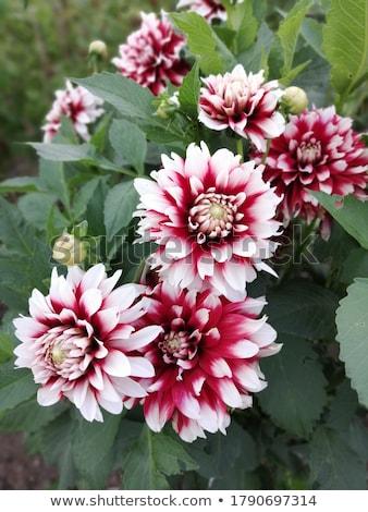 Stock photo: red white dahlia flower