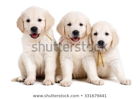 seven labrador retriever puppies stock photo © silense