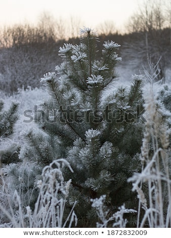 small conifer covered by snow stock photo © tepic
