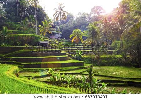 trabalhador · verde · arrozal · plantação · terraço - foto stock © meinzahn