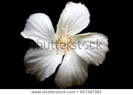 close up pink  Hibiscus flowers call Chaba Flower in Thailand stock photo © yanukit