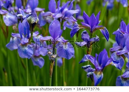 флаг Iris красивой желтый цветок природы Сток-фото © chris2766