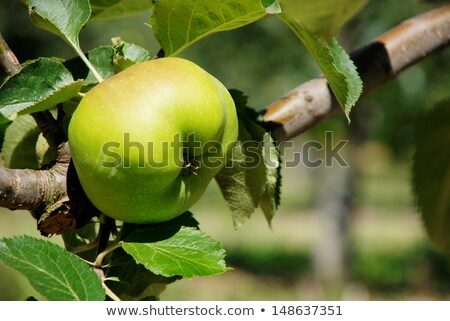 főzés · alma · ág · angol · gyümölcsös · monokróm - stock fotó © sarahdoow