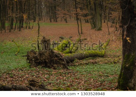 Rainforest Fallen Logs Rotted Stump Moss Covered Tree Trunk Stock photo © cboswell
