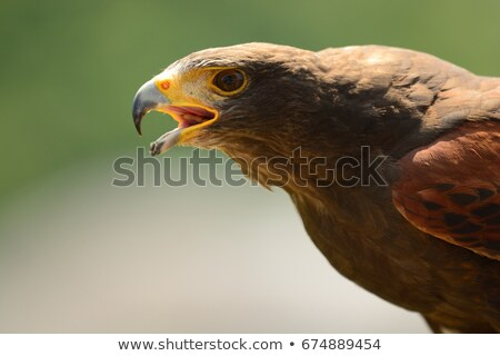close up portrait of a harris hawk stock photo © chrisga