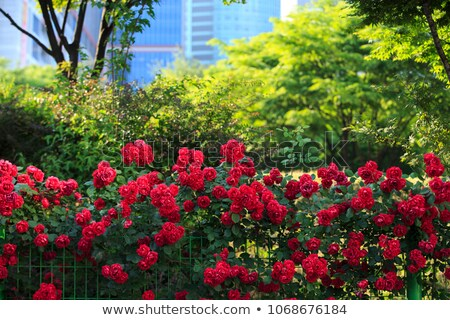 Bush of roses on bright summer day Stock photo © Elnur