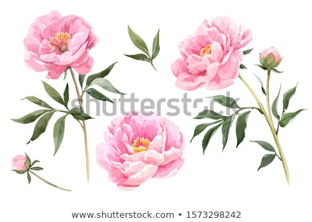 pink peony flower stock photo © njnightsky
