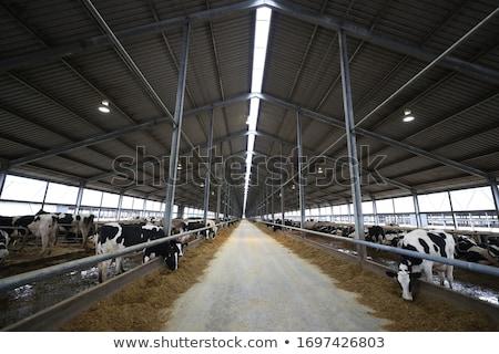 gazda · csőr · nyáj · tehenek · csoport · farm - stock fotó © michaklootwijk